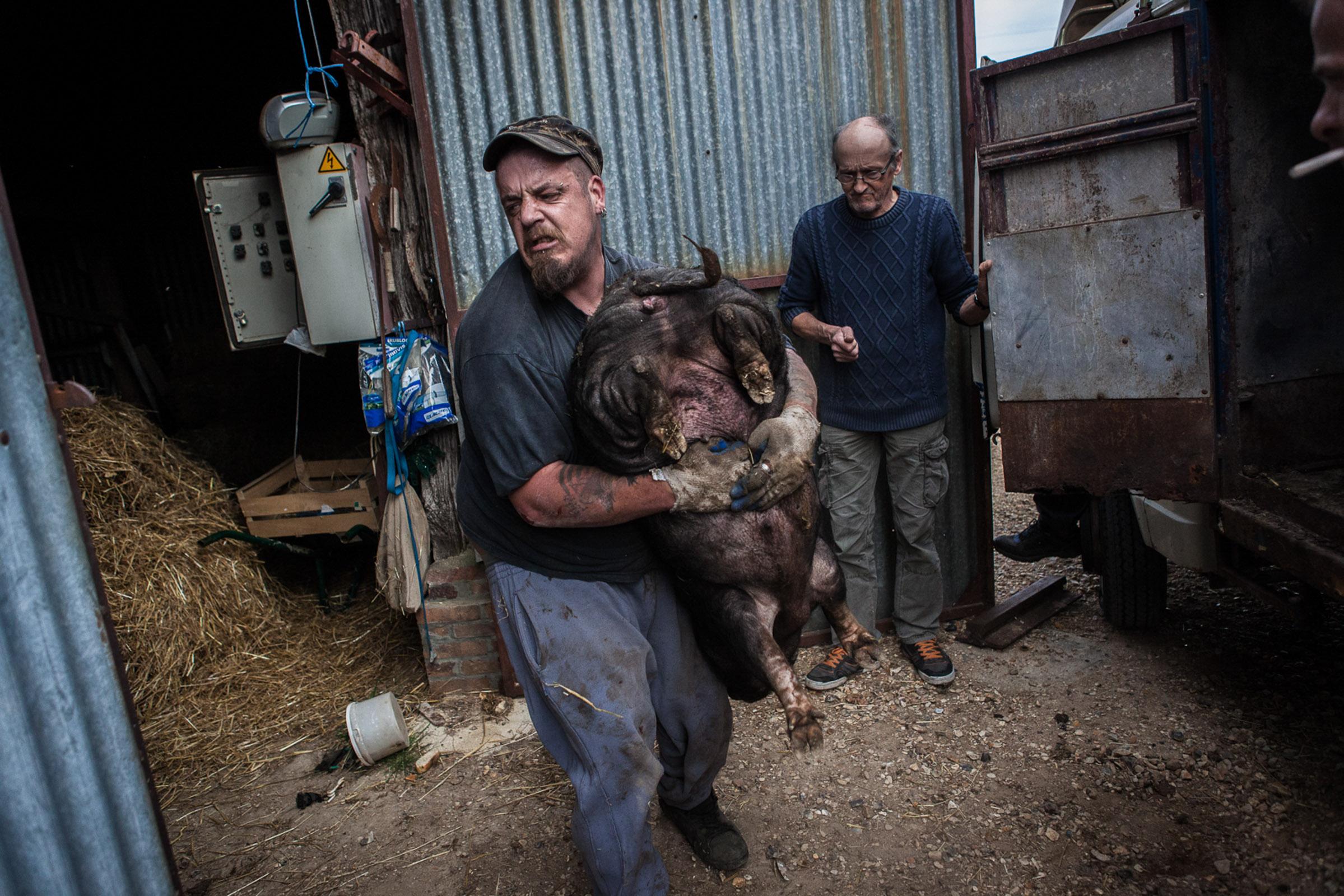 Villebeon, le 2 Avril 2014; Remy, dans le village depuis plus d'un an transporte les cochons offerts par une ferme voisine.  Villebeon, April 2, 2014; Remy has been living in the village for more than a year. He carries pigs offered by a nearby farm.